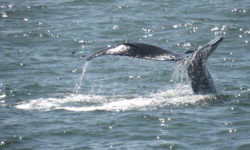 Angel Island Ferry invites you on board for Whale Watching on San Francisco Bay.