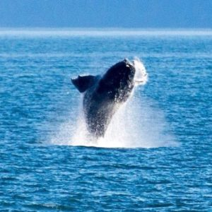 Angel Island Ferry invites you to hop on for Whale Watching this season!